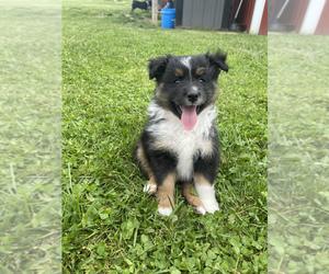 Australian Shepherd Puppy for sale in TOMPKINSVILLE, KY, USA