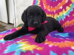 Labradoodle Puppy For Sale in PEACH BOTTOM, PA