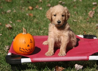 Goldendoodle Puppy for sale in POTOMAC, MD, USA
