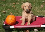 Goldendoodle Puppy For Sale in POTOMAC, MD