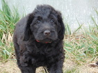 Labradoodle Puppy For Sale in NORTH PLATTE, NE, USA