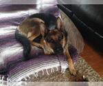 Small #239 German Shepherd Dog