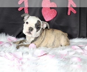 English Bulldog Puppy for sale in LITTLE ELM, TX, USA