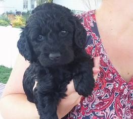 View Ad Goldendoodle Litter Of Puppies For Sale Near Minnesota Red