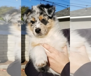 Australian Shepherd Puppy for sale in ALTA LOMA, CA, USA
