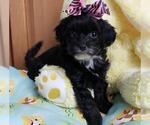 Poo-Ton Puppy For Sale in ROCKFORD, MI, USA