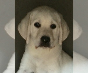 Labrador Retriever Puppy for Sale in ELLENDALE, North Carolina USA