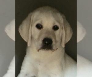 Labrador Retriever Puppies for Sale in North Carolina, USA