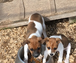 Rat Terrier Dogs for adoption in TIMPSON, TX, USA