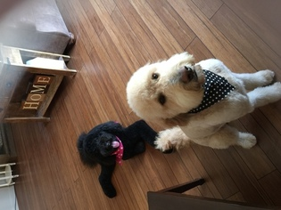 Labradoodle Puppy For Sale in MANSFIELD, OH