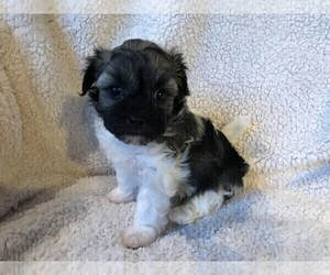 Havanese Puppy for sale in CARMEL, IN, USA