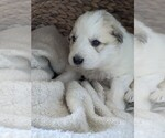 Small #82 Great Pyrenees