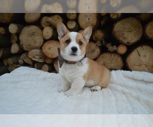 Cardigan Welsh Corgi Puppy for sale in HONEY BROOK, PA, USA
