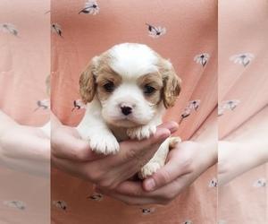 Cavapoo Puppy for sale in WHITE SALMON, WA, USA
