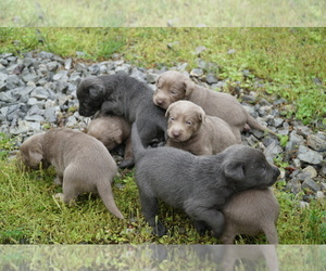Labrador Retriever Puppy for Sale in GREENEVILLE, Tennessee USA