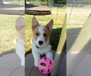 Pembroke Welsh Corgi Dog for Adoption in MADERA, California USA