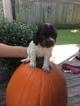 Cocker Spaniel Puppy For Sale in NEOSHO, MO, USA