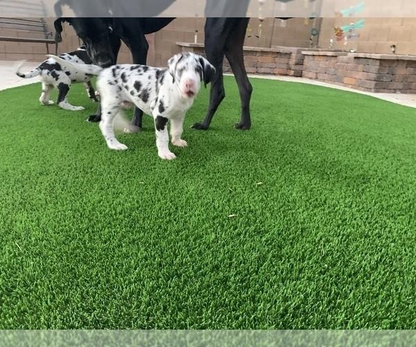 Medium Photo #3 Great Dane Puppy For Sale in MARICOPA, AZ, USA