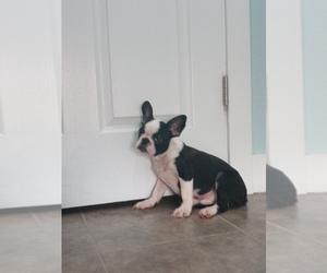 French Bulldog Puppy for Sale in ADAMS CITY, Colorado USA
