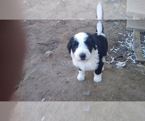 Sheepadoodle Puppy for sale in HURST, TX, USA