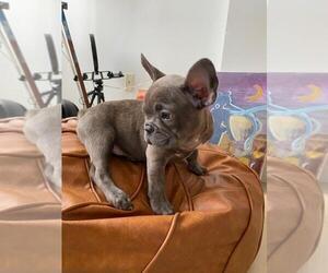 French Bulldog Puppy for sale in MIAMI BEACH, FL, USA