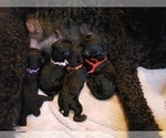 Small Photo #14 Poodle (Standard) Puppy For Sale in DYERSBURG, TN, USA