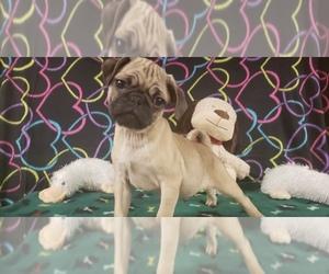 Pug Puppy for Sale in WINSTON SALEM, North Carolina USA