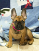 French Bulldog Puppy For Sale in MILWAUKEE, WI, USA