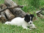 Border Collie Puppy For Sale in CORYDON, IN,
