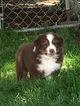 Australian Shepherd Puppy For Sale in DANVILLE, PA, USA