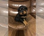Small #3 Rottweiler