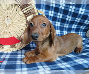 Dachshund Puppy for Sale in SHILOH, Ohio USA