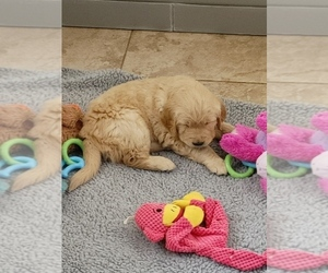 Golden Retriever Puppy for Sale in MESA, Arizona USA