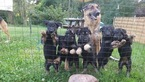 German Shepherd Dog Puppy For Sale in FAIRPORT, NY, USA