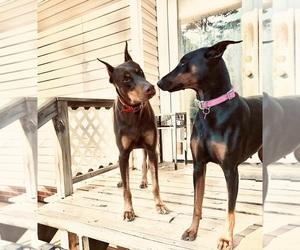 Mother of the Doberman Pinscher puppies born on 09/05/2020
