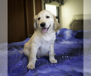 Golden Retriever Puppy for sale in ACTON, CA, USA
