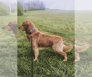Golden Retriever Dog for Adoption in RUTHERFORDTON, North Carolina USA