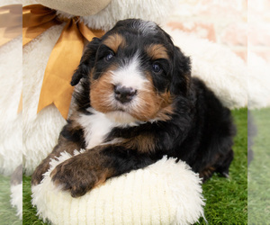 Miniature Bernedoodle Puppy for Sale in DONNELLSON, Iowa USA