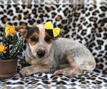 Small #6 Australian Cattle Dog-Jack Russell Terrier Mix