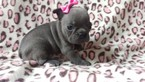 French Bulldog Puppy For Sale in EPHRATA, PA, USA
