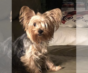 Mother of the Yorkshire Terrier puppies born on 02/08/2021