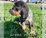 Puppy 6 Bluetick Coonhound