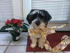 Poovanese Puppy For Sale in BRUSHTON, NY, USA