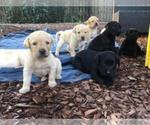 Labrador Retriever Puppy For Sale in SACRAMENTO, CA, USA