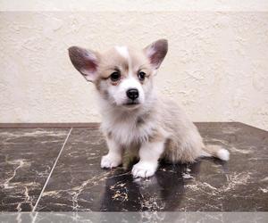 Pembroke Welsh Corgi Puppy for sale in DES PLAINES, IL, USA