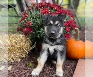 German Shepherd Dog-Siberian Husky Mix Puppy for Sale in CANISTEO, New York USA