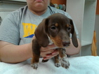 Dachshund Puppy For Sale in WOOSTER, OH,