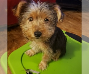 Medium Yoranian-Yorkshire Terrier Mix