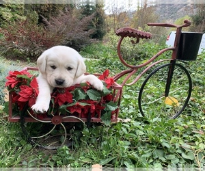 Golden Retriever Puppy for Sale in GLENDALE, California USA