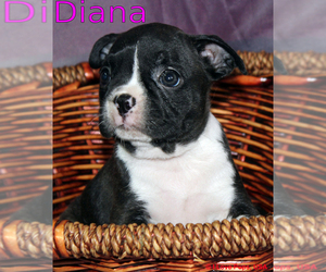 Boston Terrier Puppy for Sale in PORT RICHEY, Florida USA